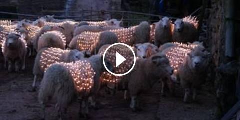 Attaccano dei LED alle Pecore – Ecco il Motivo!