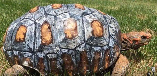 Freddy e il suo guscio di tartaruga stampato con la stampante 3D